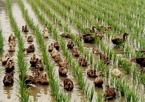 Intégration des canards et du riz, Japon